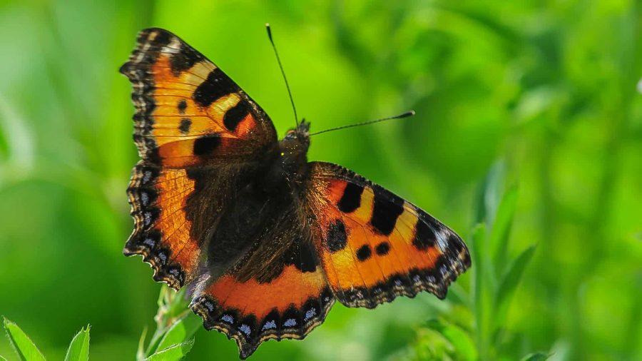 aglais urticae, prtite tortue (papillon)