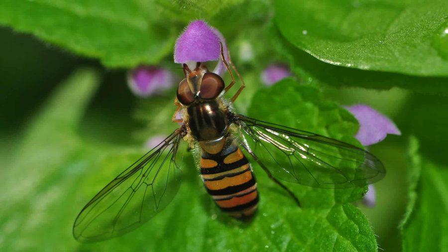 Syphre ceinturé - episyrphus balteatus