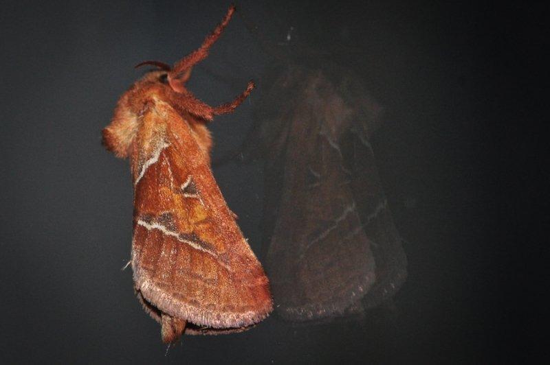 sylvine-papillon