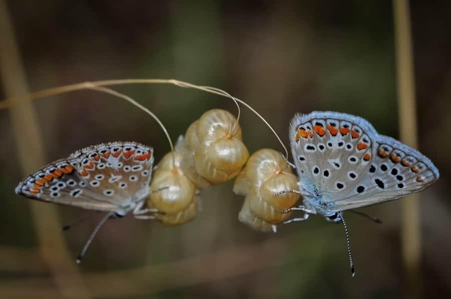 Aricia agestis, argus bruns
