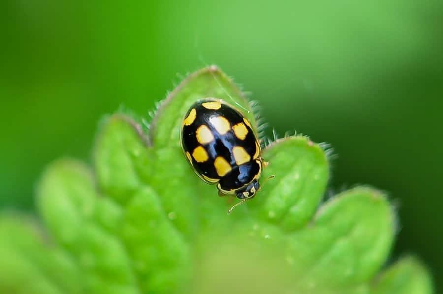 Coccinelle à damier - Propylea quatuordecimpunctata