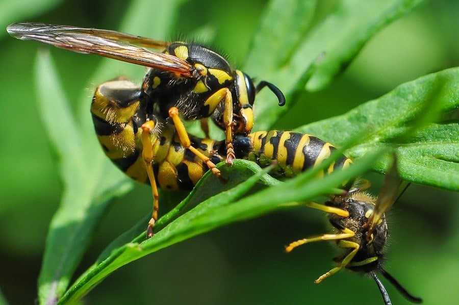 couple de guêpes vespula germanica