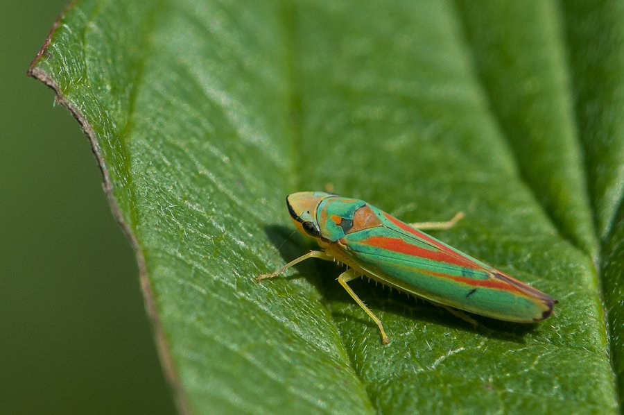 Cicadelle du rhododendron