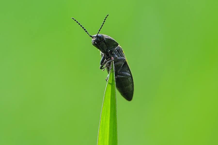 Melanotus punctolineatus