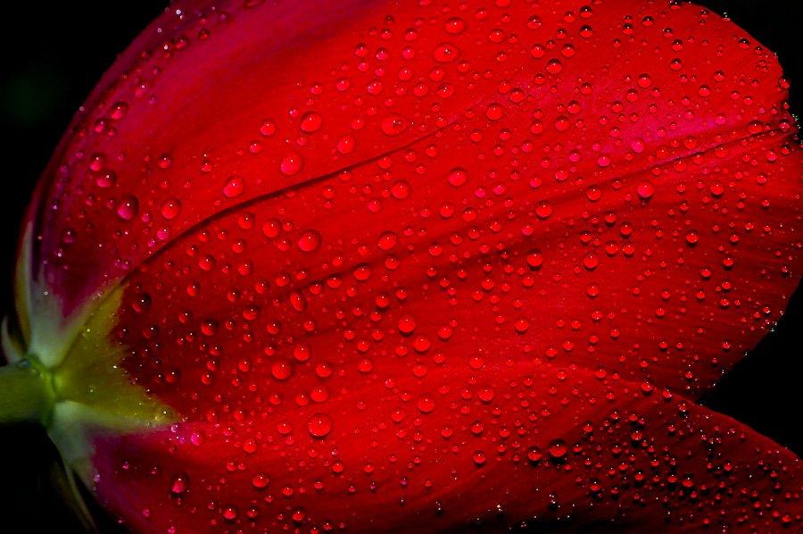Fleur de tulipe après la pluie