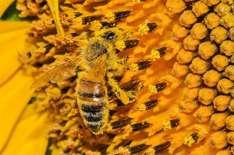 abeilles-pollen