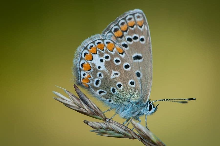 Collier de corail - papillon
