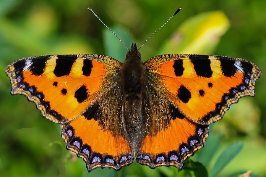 Papillon Aglais urticae (Petite tortue)