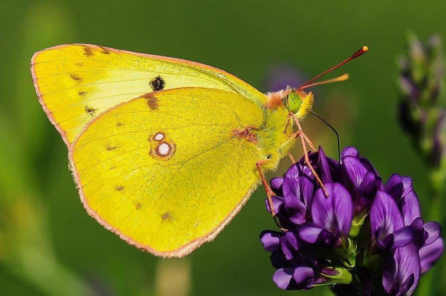 papillon_colias