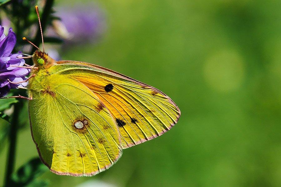 Soufré papillon