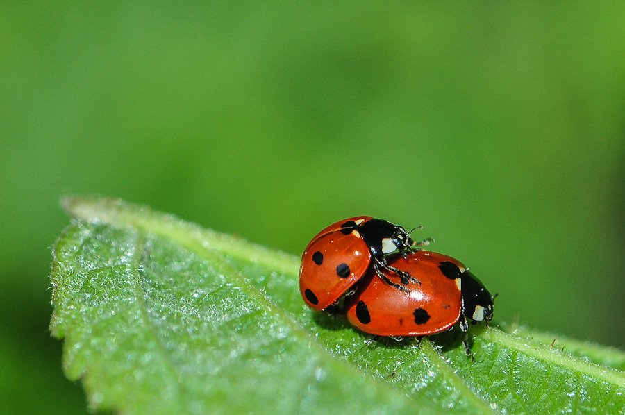 coccinelle accouplement