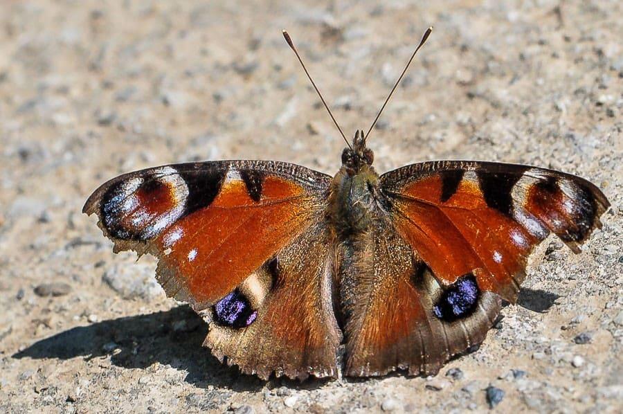 Papillon Aglais io, Paon du jour
