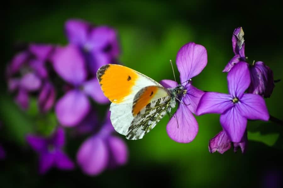 Piéride du cresson (papillon)