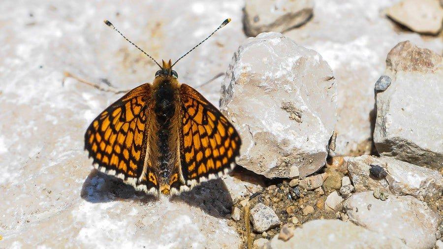 papillon Melitea cinxia
