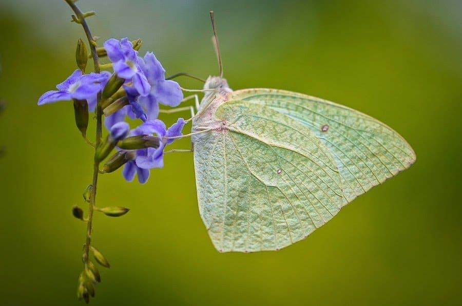 papillon piéride du cassier