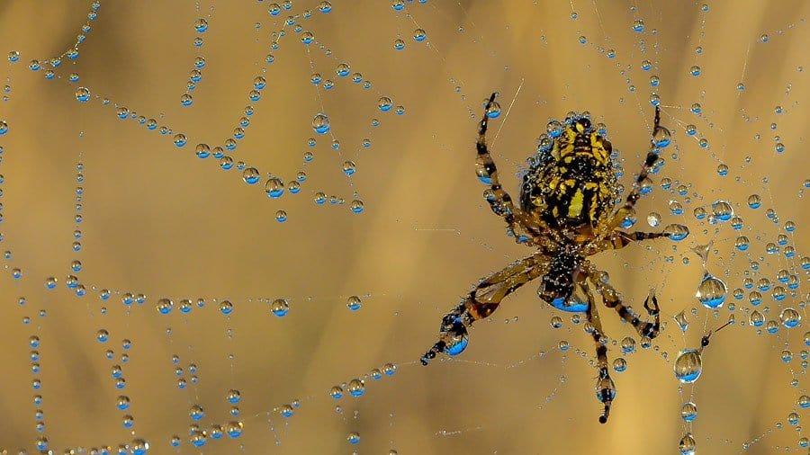 araignée Epeire diadème sur sa toile
