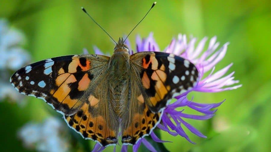 vanesse du chardon, papillon vanessa cardui