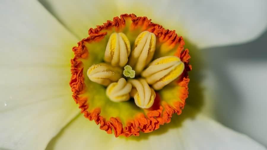 Narcisse jaune ou Narcissus pseudonarcissus