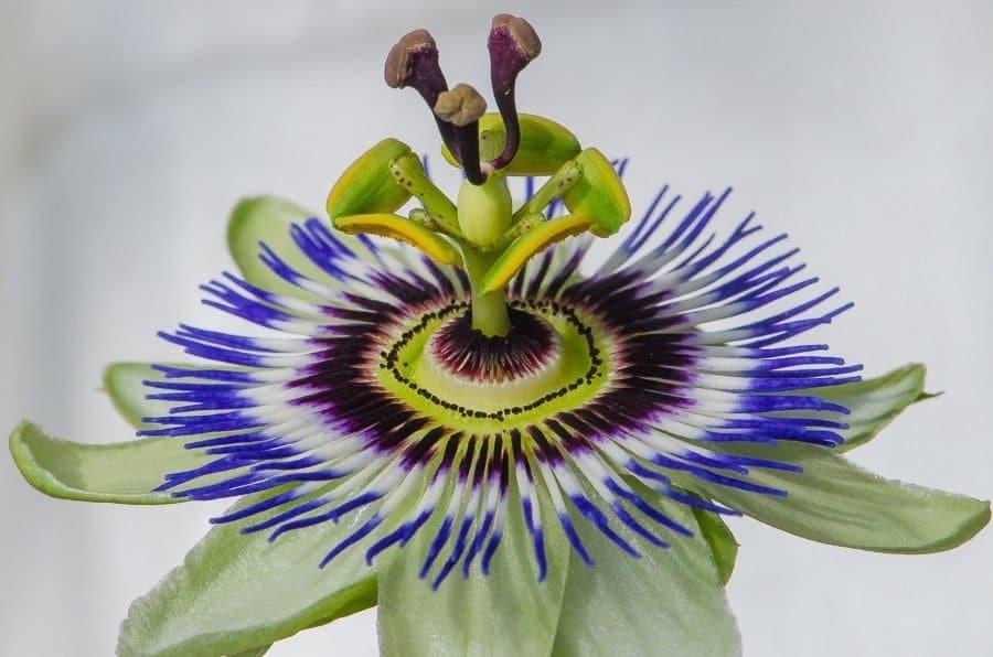 Passiflora caerulea ou passiflore bleue