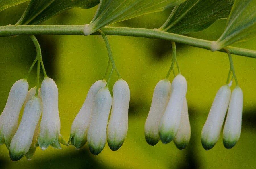 Sceau de Salomon - plante