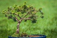 Amoureux de la nature: quand le bonsaï appelle Gilles Favarel