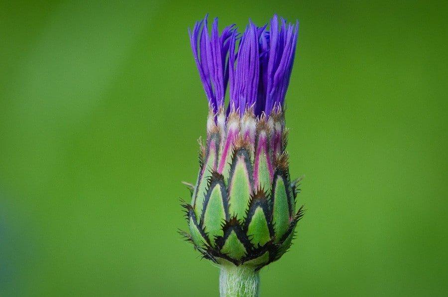 centauree montana, Centaurea montana, La Centaurée des montagnes