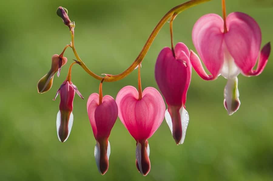 Grappe de coeur de marie dicentra spectabilis trigobert net - Dicentra coeur de marie ...