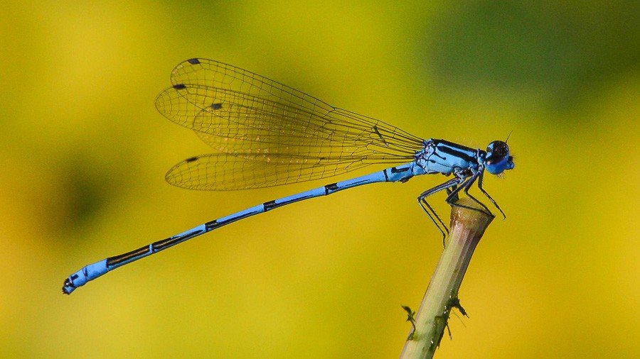Coenagrion mercuriale ou Coenagrion mercuriale