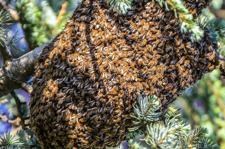 Essaimage des abeilles : un autre essaim formé sur une branche de pin