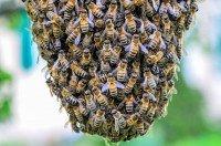Essaimage d'abeilles: focus sur la duplication de la colonie