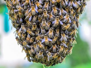 Essaimage d'abeilles: focus sur la duplication de la colonie