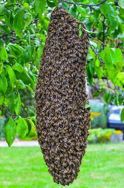 Essaimage : essaim d'abeilles dans un prunier