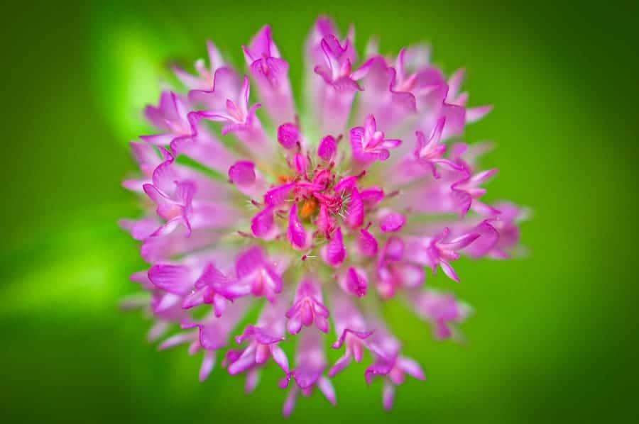fleur de tr fle des pr s trifolium pratense ou tr fle violet. Black Bedroom Furniture Sets. Home Design Ideas