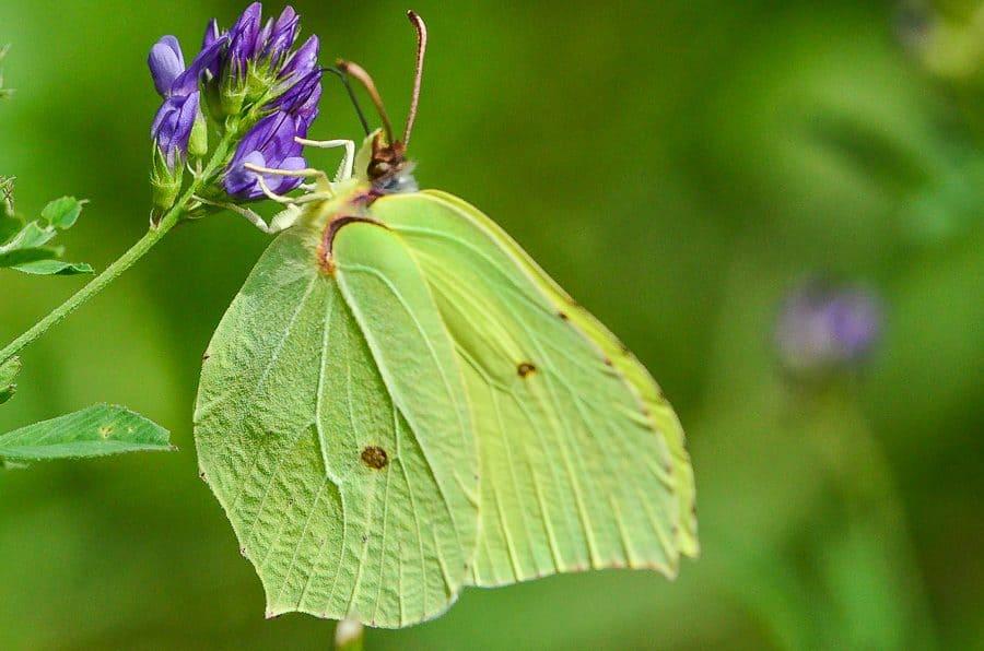 Citron papillon Gonepteryx rhamni
