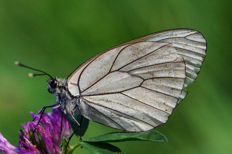 Gazé papillon
