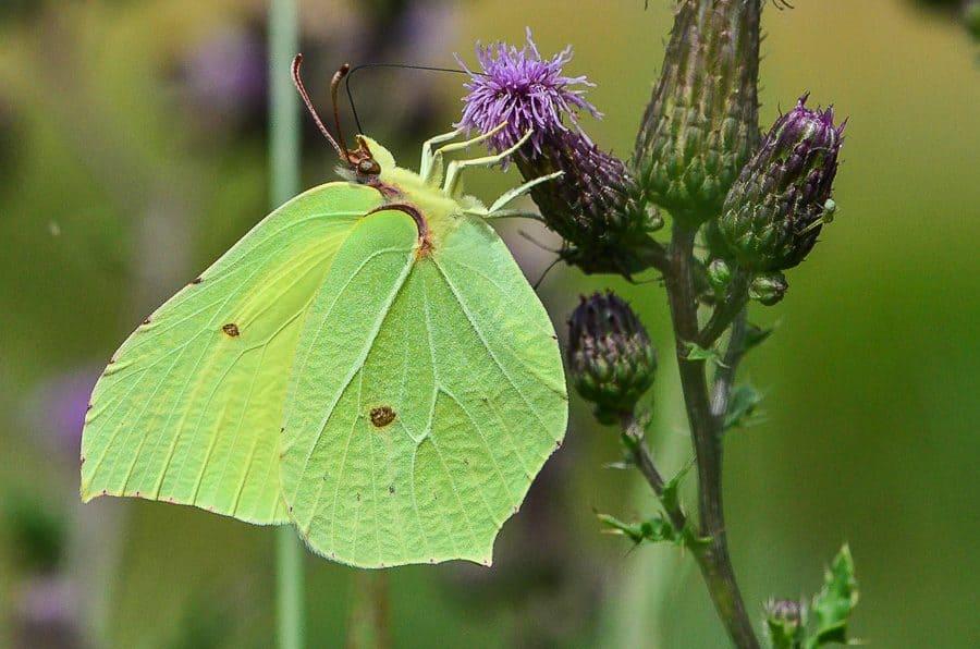 Gonepteryx rhamni papillon