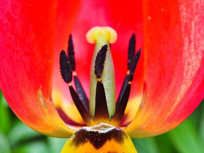 Tulipa agenensis - fleur de tulipe ouverte
