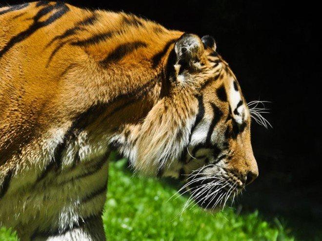 Tigre d'Afrique