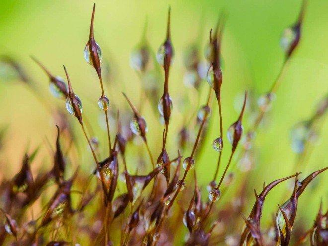 Brachythecium mildeanum