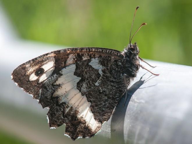 Le Silène - Brintesia circe