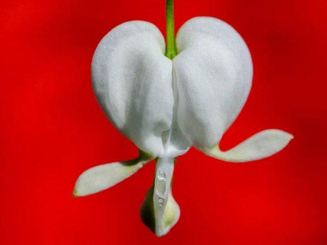 Coeur de Jeannette ou Dicentra spectabilis blanc