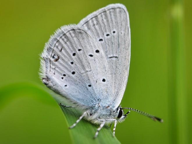 Azuré de la faucille mâle - Cupido alcetas