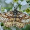 Phalène picotée mâle - Ematurga atomaria