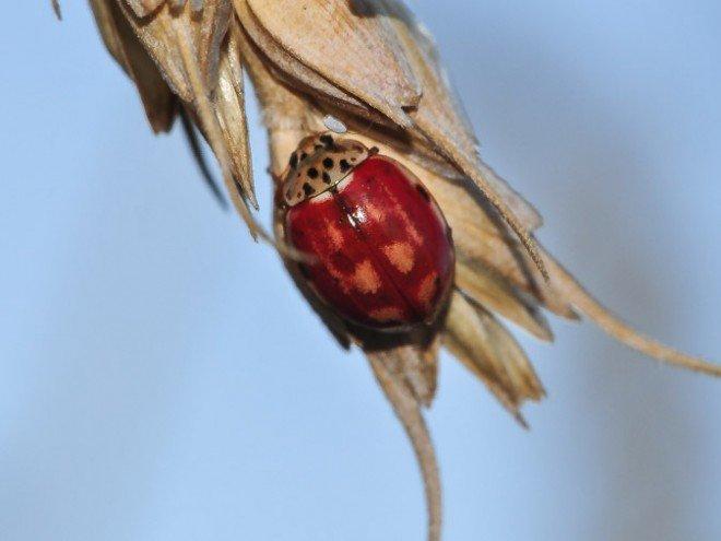 Harmonia quadripunctata - coccinelle à 4 points