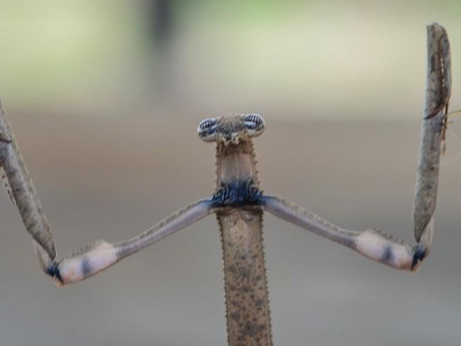 Heterochaeta orientalis - la Mante-chat