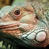 Iguana iguana - Iguane commun