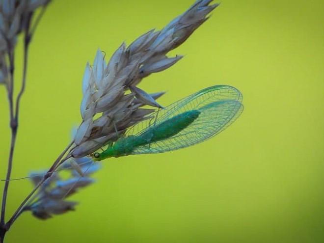 La chrysope verte