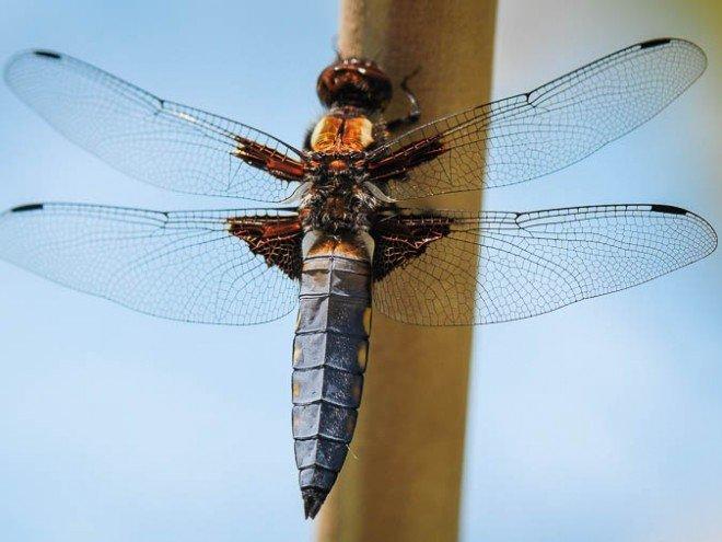 Libellula depressa - libellule déprimée