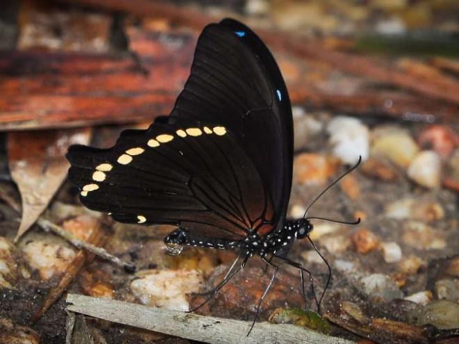 Papilio nireus - Machaon à bandes vertes étroites