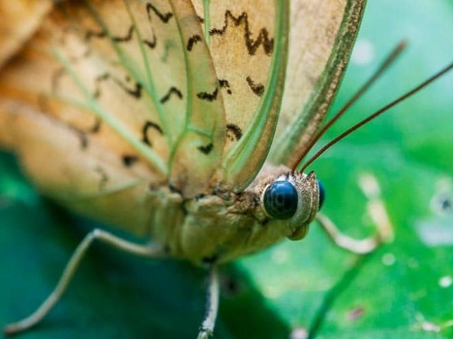 Salamis parhassus - Protogoniomorpha parhassus